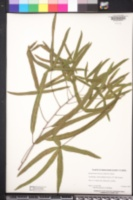 Brachychiton rupestris image