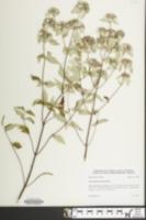 Image of Pycnanthemum loomisii