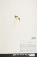 Anemone blanda image