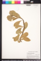 Image of Alternanthera hassleriana