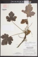 Waldsteinia lobata image