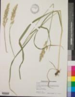 Calamagrostis coarctata image