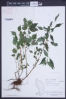Image of Phenax sonneratii