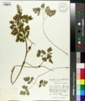 Image of Corydalis incisa