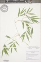 Chusquea simpliciflora image