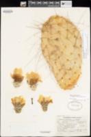 Opuntia polyacantha var. nicholii image