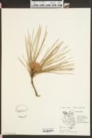 Pinus taeda image