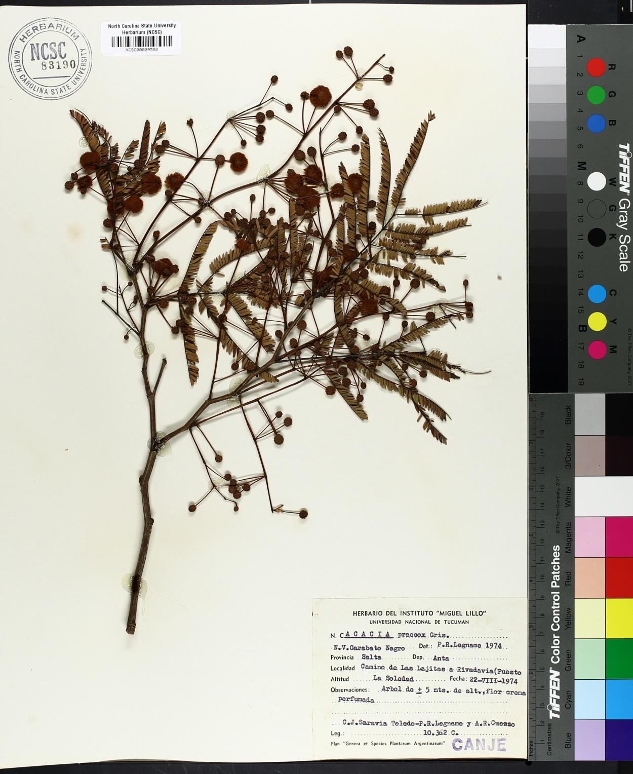 Acacia praecox image