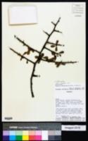 Sideroxylon obtusifolium image