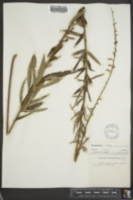 Desmodium sessilifolium image