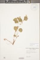 Viola labradorica image