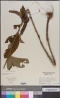 Elephantopus mollis image