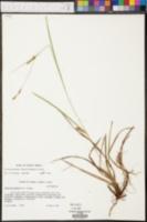 Carex microdonta image