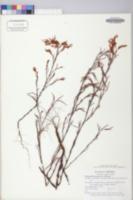 Polygonella articulata image