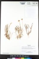 Downingia pulchella image