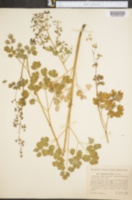 Image of Thalictrum confine