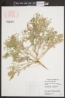 Image of Astragalus columbianus