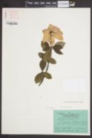 Gardenia angusta image