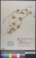 Image of Oxalis riparia