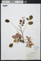 Robinia hispida image