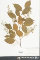 Image of Styrax tonkinensis