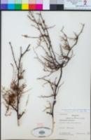 Muehlenbeckia hastulata image