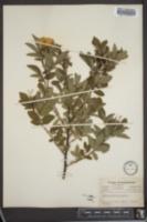 Rosa palustris image