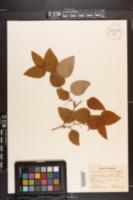 Smilax glauca var. leurophylla image