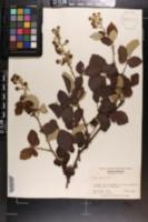 Rubus bifrons image