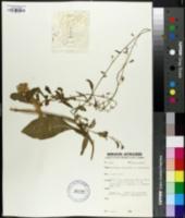 Image of Nicotiana hesperis