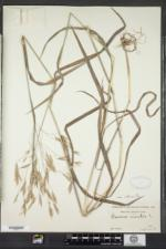 Bromus ramosus image