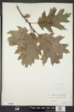 Quercus rubra var. ambigua image