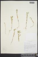 Euphorbia texana image
