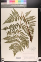 Image of Dryopteris expansa