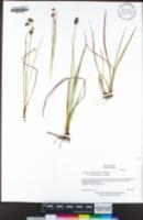 Juncus phaeocephalus var. paniculatus image