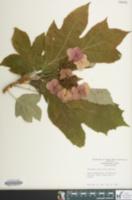 Image of Hydrangea quercifolia