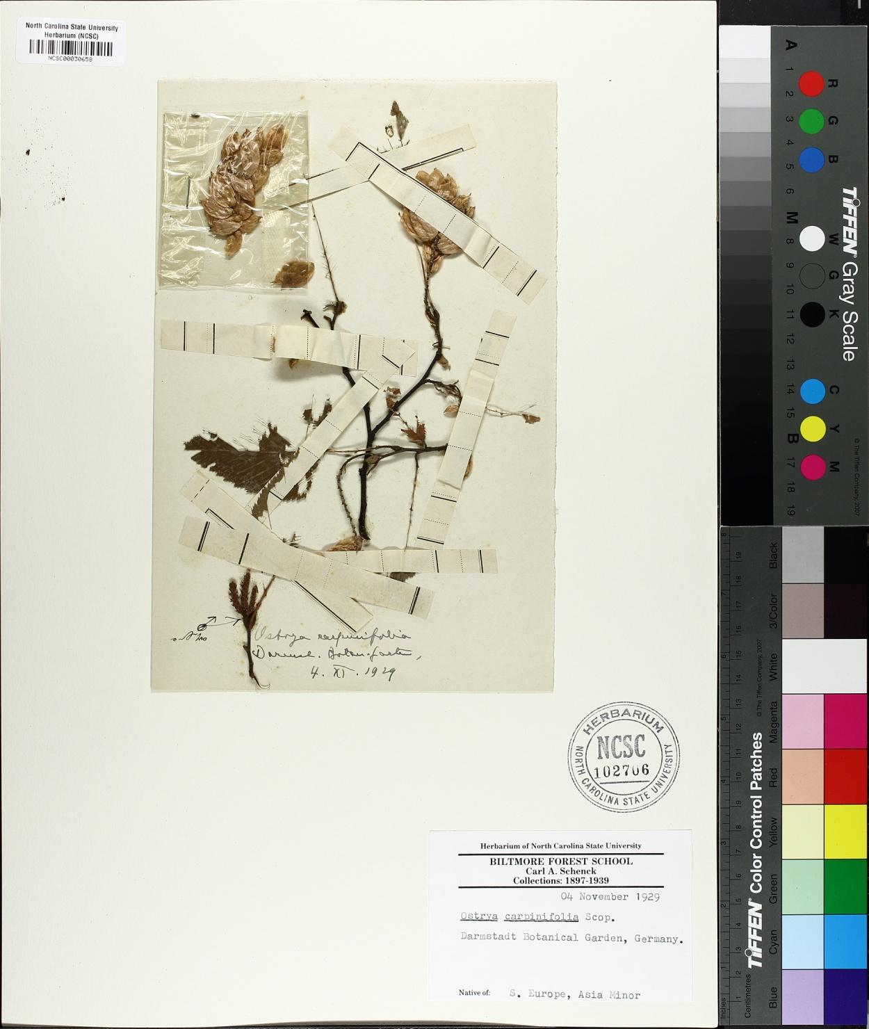 Ostrya carpinifolia image