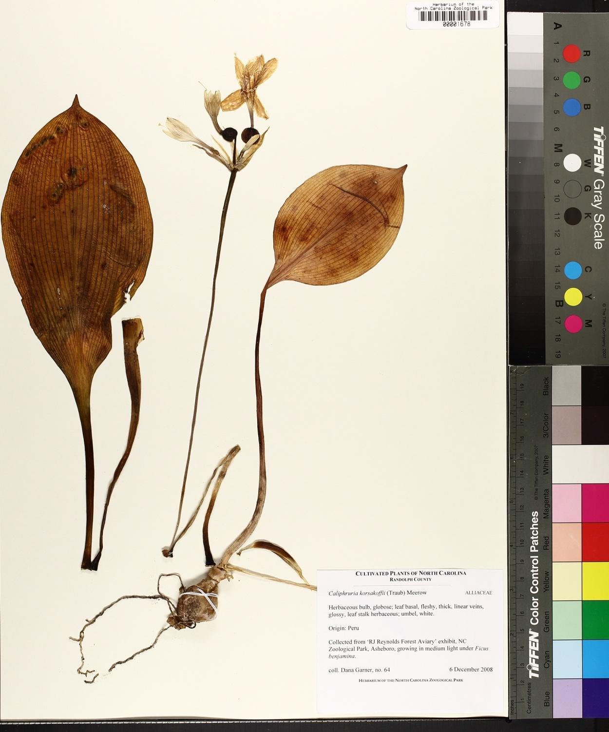 Caliphruria image