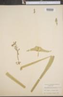 Sagittaria engelmanniana image
