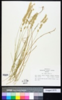 Image of Melica ciliata