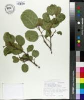 Image of Sapium japonicum