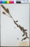 Coutoubea spicata image