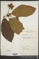 Saurauia villosa image