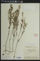 Crocanthemum rosmarinifolium image