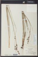 Carex glaucescens image