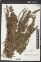 Lespedeza virginica image
