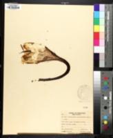Hylocereus undatus image