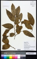 Image of Celtis schippii