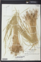 Vulpia elliotea image