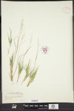 Image of Panicum owenae